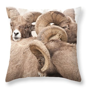 Three Bighorn Rams Throw Pillow