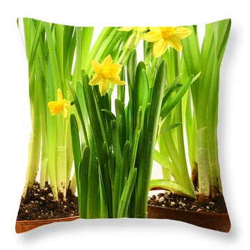 Three Pots Of Daffodils On White  Throw Pillow by Sandra Cunningham
