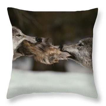 Two Gray Wolves, Canis Lupus, Tussle Throw Pillow