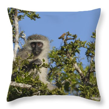 Vervet Monkey Perched In A Treetop Throw Pillow