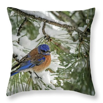 Western Bluebird In A Snowy Pine Throw Pillow