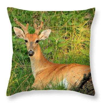 White-tail Buck Resting Throw Pillow