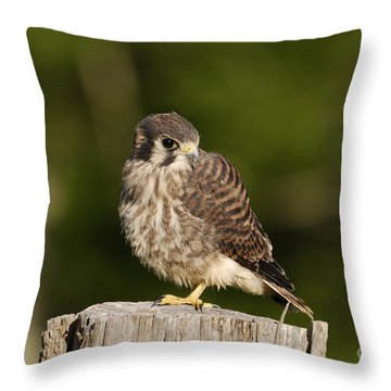 Young American Kestrel Throw Pillow by Randy Bodkins