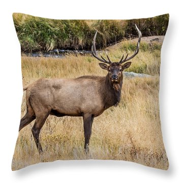 Young Bull Elk Throw Pillow