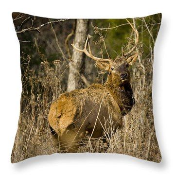 Throw Pillow featuring the photograph Young Bull On A Woodland Trail by Michael Dougherty