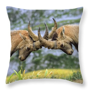 Young Male Wild Alpine, Capra Ibex, Or Steinbock Throw Pillow