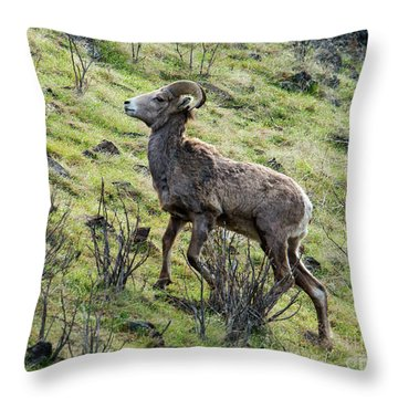 Throw Pillow featuring the photograph Young Ram Climbing by Mike Dawson