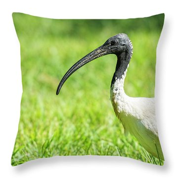Throw Pillow featuring the photograph Australian White Ibis by Rob D Imagery