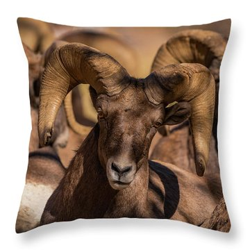 Bighorns Resting In The Afternoon Sun Throw Pillow