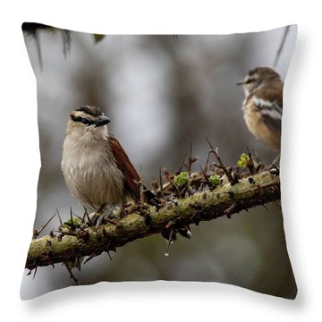 Black-crowned Tchagra And White-browed Scrub-robin Throw Pillow