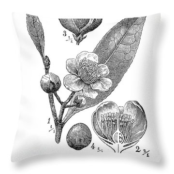 Camellia Sinensis, Botanical Vintage Engraving Throw Pillow