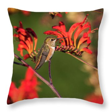 Female Rufous Hummingbird At Rest Throw Pillow