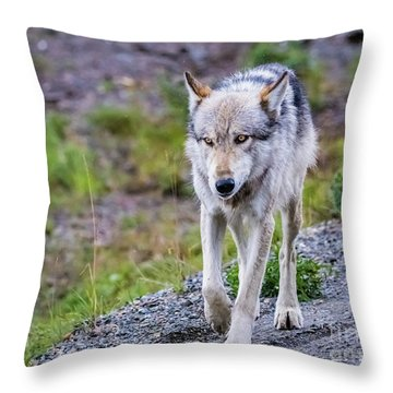 Grey Wolf In Denali National Park, Alaska Throw Pillow