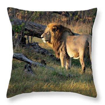 Male Lion In Botswana Throw Pillow