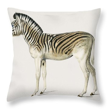 Mountain Zebra  Dauw  Illustrated By Charles Dessalines D' Orbigny  1806-1876  Throw Pillow