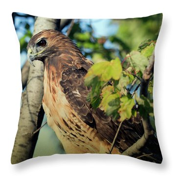 Throw Pillow featuring the photograph Red-tailed Hawk Looking Down From Tree by Rick Veldman