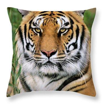 Siberian Tiger Staring Endangered Species Wildlife Rescue Throw Pillow