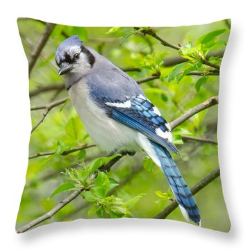 Springtime Bluejay Throw Pillow