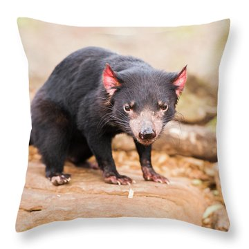 Tasmanian Devil In Hobart, Tasmania Throw Pillow