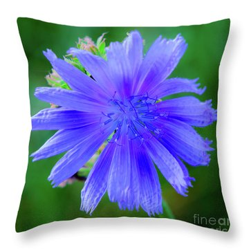 Vibrant Blue Chicory Blossom Close-up With Its Delicate Petals And Stamen Throw Pillow