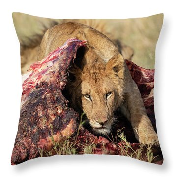 Young Lion On Cape Buffalo Kill Throw Pillow