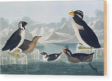 Auklets Wood Prints