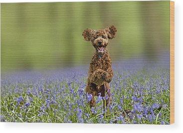 Cocker Spaniel Photographs Wood Prints