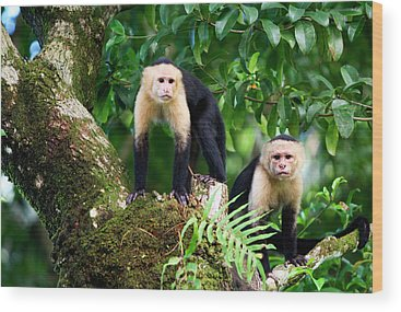 Capuchin Wood Prints