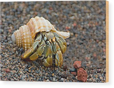 Hermit Crab Wood Prints