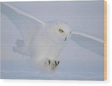 Snowy Owls Wood Prints