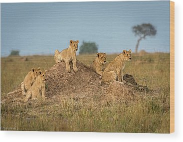 Baby Lions Wood Prints