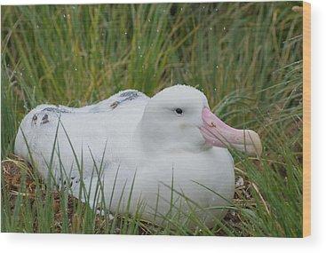 Albatross Wood Prints