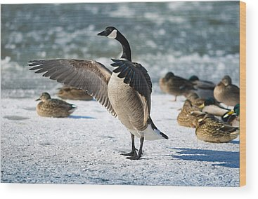 Canada Goose Photographs Wood Prints