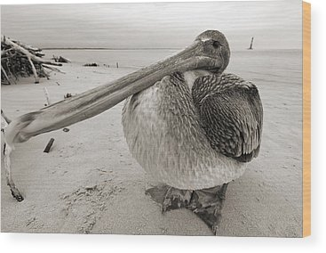 Brown Pelicans Wood Prints