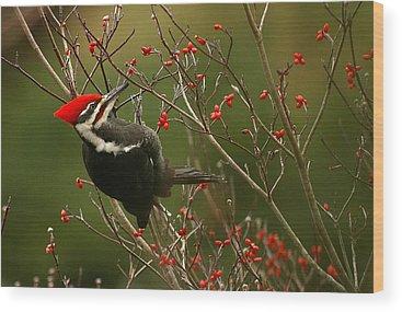 Pileated Woodpecker Wood Prints