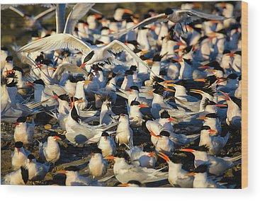 Elegant Tern Wood Prints
