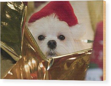 Maltese Dog Christmas Cards Wood Prints
