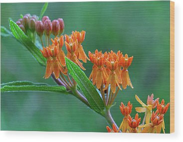Showy Milkweed Wood Prints