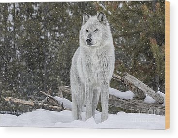 Canis Lupus Wood Prints