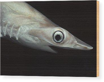 Hammer Head Shark Wood Prints