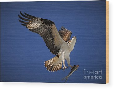 Osprey Wood Prints