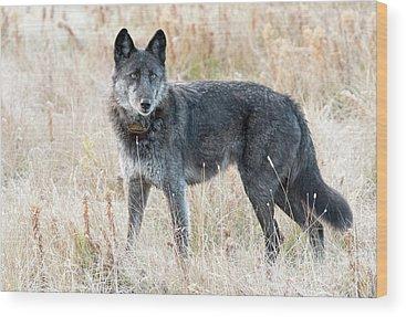 Alpha Wolf Wood Prints