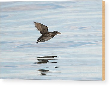 Auklets Wood Prints