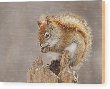 Red Squirrel Wood Prints