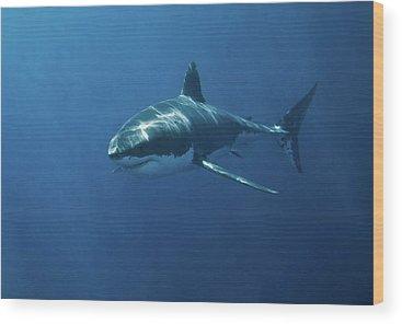 Sharks Wood Prints