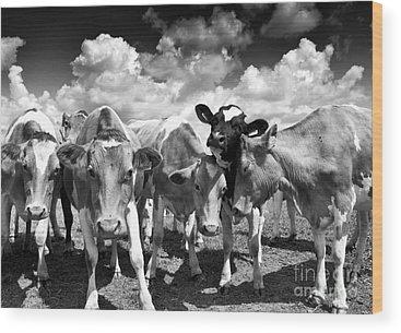 Cow And Calf Wood Prints