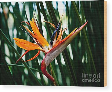Heliconia Wood Prints