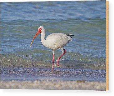 White Ibis Wood Prints