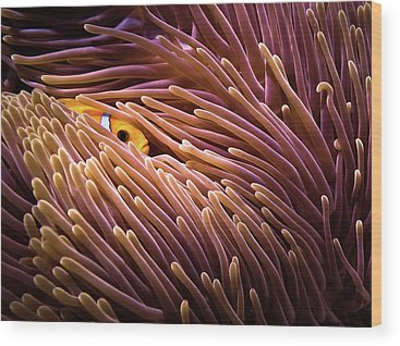 Clownfish Wood Prints