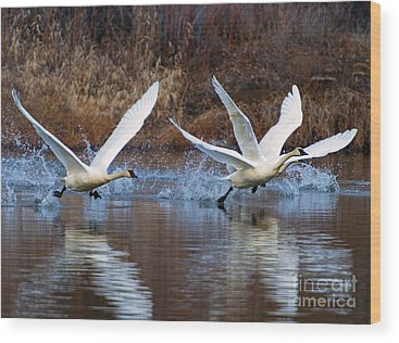 Trumpeter Swan Wood Prints
